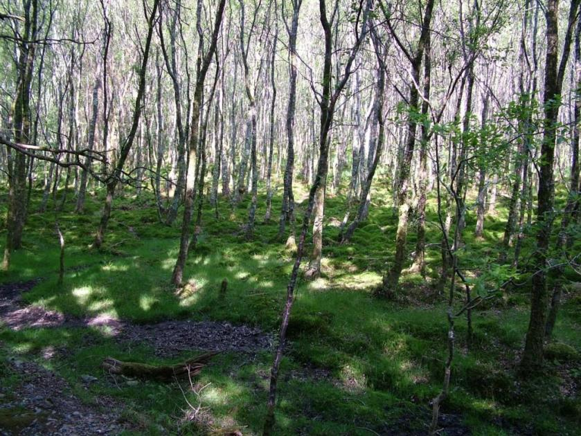 3. Birch Forest.jpeg